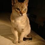 抜け毛が少ない猫の種類3選