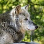 うちの犬が狼みたいに遠吠え! これってどういう意味があるの?