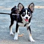 うちの犬 散歩の途中や散歩の帰りに歩かない! そんなときにはどうする?
