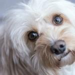 犬の皮膚に現れるアレルギー症状とその対策