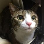 猫が歯をしゃりしゃり鳴らすのは病気の兆候?