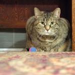鳴き声がうるさい飼い猫へのしつけと対策方法