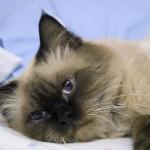 猫の発情期の時期はいつ? 正しい避妊・去勢手術のために