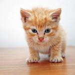 目やにの取り方をマスターして綺麗な目の子猫に育てよう