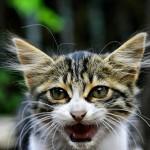 猫の威嚇の時の鳴き声ってどんな感じなの?
