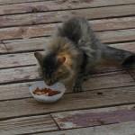 離乳食にもなる! 子猫用ドライフードの特徴