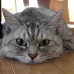猫の寿命の長さは種類によって違うの?