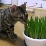 飼い猫に猫草を与える頻度はどれくらい?