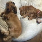 犬の多頭飼いのメリット デメリットとは?