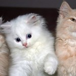 高貴なイメージのペルシャ猫 正しいしつけ方法と本当の性格を知ろう!