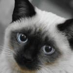 憧れは猫かわいがり! なつく猫の種類は?