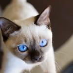 猫の目の色 カラーバリエーションはどれくらいあるの? 完全解説版