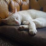ソファーでの困った爪とぎ癖 飼い猫からソファーを守る方法