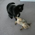 新入り子猫を噛む先住猫の気持ちってどんな感じ?
