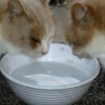 水をよく飲む猫が注意したい病気まとめ