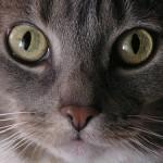 飼い猫の目が赤い!どんな病気が考えられるの?