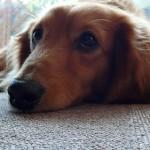 室内で飼いやすい! オススメの小型犬種3選