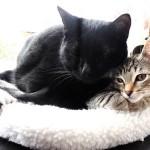 新入り子猫と先住猫の初対面!気を付けるポイントは?