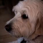 室内犬の飼い方 気を付けるべきことを覚えておこう!