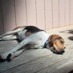 熱中症の症状と応急処置の方法を知って、愛犬の命を守ろう!