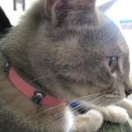 猫用のノミ取り首輪は本当に効果があるの!?