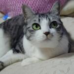 ファンも多いサバトラ猫の性格ってどんな感じ?