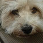 犬が透明な鼻水を垂らしているときに考えられる病気とは