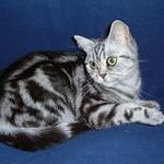 性格が大人しい猫を飼いたい人向け オススメの品種3選
