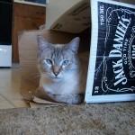 猫はどうして箱に飛び込む? うちの猫にもやってもらいたい!