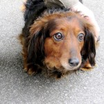 お留守番の時だけおしっこを失敗する犬にはどのようなしつけが有効?