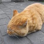 男子率高めな猫! 茶トラの性格を徹底解説しちゃいます