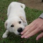 子犬のおしっこ 平均的な回数はどれくらい?