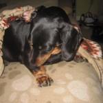 犬が肉球をなめる 実は健康上の問題が潜んでいることも!?