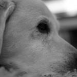 愛犬のヒゲが白髪に!? 犬の老化現象を知ろう!