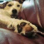 犬専用の肉球クリーム いったいどういう効果があるの!?