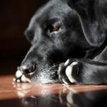 犬の肉球が赤いときの原因は指間炎を疑おう!