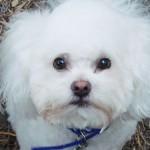 愛犬のひげ ペットサロンでカットしますか?と言われるけど、大丈夫なの?