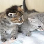 いつまであげればいい? 子猫にミルクを与える時期を詳しく知ろう!