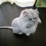 サマーカットは猫にとってどのくらいストレスになるの?