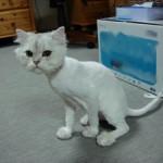 長毛種の飼い猫にはサマーカットをすべき? その必要性について考えてみよう!