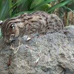 こんな名前初耳! 猫好きでも知らない珍しい種類の猫ガイド!
