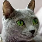 イケメンな猫が欲しい! どんな品種や種類にイケメンネコさんが多い?