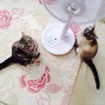 猫との夏の過ごし方 扇風機を使うと危ないっていうのは本当!?