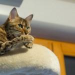 ワイルドさが魅力なベンガル猫のしつけ方と性格